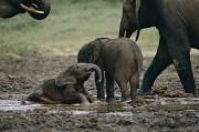 Central African Republic Photos - Two Forest Elephant Calves Play by Michael Fay