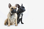 Obedience Framed Prints - Two French Bulldogs Sitting To Attention Framed Print by Andrew Bret Wallis