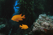 Full-length Portrait Prints - Two Garibaldi Fish Print by Tim Laman