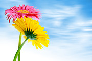 Season. Sky. Clouds Prints - Two Gerberas Print by Carlos Caetano