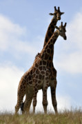 African Animals Photo Posters - Two Giraffes a Love Story Poster by Laura Mountainspring