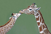 Giraffe Photos - Two Giraffes by images by Nancy Chow