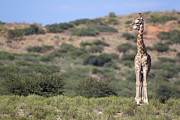 Southern Province Metal Prints - Two Giraffes Looking Into The Distance Metal Print by Heinrich van den Berg