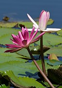 Graceful Lotus Prints - Two Graceful Water Lilies Print by Sabrina L Ryan