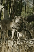 Canis Lupus Prints - Two Gray Wolves, Canis Lupus Print by Jim And Jamie Dutcher