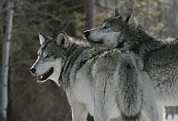 Bonding Metal Prints - Two Gray Wolves, Canis Lupus, Look Metal Print by Jim And Jamie Dutcher