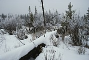 Canis Lupus Prints - Two Gray Wolves, Canis Lupus, Survey Print by Jim And Jamie Dutcher