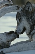 Animal Behavior Metal Prints - Two Gray Wolves, Canis Lupus, Touch Metal Print by Jim And Jamie Dutcher
