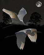 Great Birds Mixed Media Posters - Two Great Egrets In Flight Poster by Eric Kempson