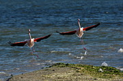 Repetition Photos - Two Greater Flamingoes landing on surface by Sami Sarkis