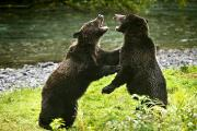 Aggressive Art - Two Grizzly Bears Fighting by Richard Wear