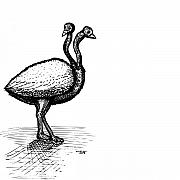 Wildlife Art Drawings Prints - Two Headed Ostrich Print by Karl Addison