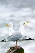 Herring Prints - Two Herring Gulls Print by Duncan Shaw