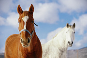 Bridle Metal Prints - Two Horses Metal Print by Noah Clayton
