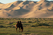 Desert Photography Posters - Two Humped Bactrian Camel In Gobi Desert Poster by Dave Stamboulis Travel Photography