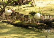 Ibis Art - Two Ibises on a Log by Carol Groenen
