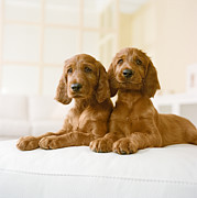 Irish Setter Posters - Two Irish Setter Puppies Sitting On Couch Poster by GK Hart/Vikki Hart