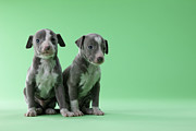 Greyhound Photos - Two Italian Greyhound Puppies by Mixa