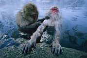 Animals Head Posters - Two Japanese Macaques, Or Snow Monkeys Poster by Tim Laman