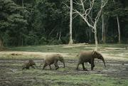 Central African Republic Photos - Two Juvenile Forest Elephants Follow by Michael Fay