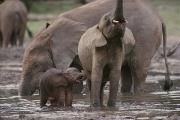 Central African Republic Photos - Two Juvenile Forest Elephants Stand by Michael Fay