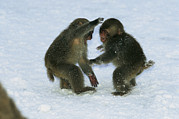 Macaques Prints - Two Juvenile Japanese Macaques, Or Snow Print by Tim Laman