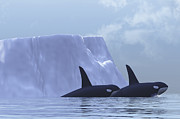 Two Animals Digital Art Framed Prints - Two Killer Whales Swim Near An Iceberg Framed Print by Corey Ford