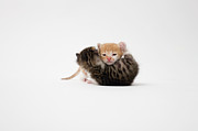 Embracing Posters - Two Kittens Cuddling On White Background Poster by Ichiro