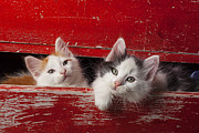 Drawers Prints - Two kittens in red drawer Print by Garry Gay