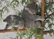 Koala Photo Prints - Two Koalas in a Tree Print by Clarence Alford