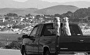 Monochrome Posters - Two Labrador dogs in a truck Poster by Sumit Mehndiratta