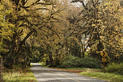 Hoh Valley Posters - Two Lane Road Passing Under Trees Poster by Ned Frisk