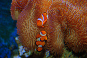 Clown Fish Photos - Two Little Clowns by Anjanette Douglas