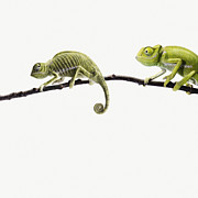 Three-quarter Length Prints - Two Lizards Looking With Different Expressions Print by Maarten Wouters