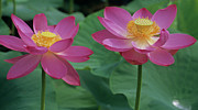 Lotus Leaves Prints - Two Lotus Print by Elvira Butler