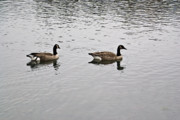 Arkansas Metal Prints - Two Lovely Canadian Geese Metal Print by Douglas Barnett