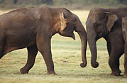 Bull Elephant Posters - Two Male Endangered Asian Elephants Poster by Jason Edwards