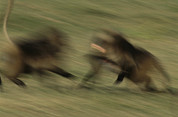 Two By Two Framed Prints - Two Male Geladas Charge Each Other Framed Print by Michael Nichols