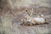 Wrestle Prints - Two Male Lion Cubs Wrestle On The Trail Print by Mark C. Ross
