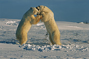 Natural Forces Art - Two Male Polar Bears Playfully Wrestle by Norbert Rosing