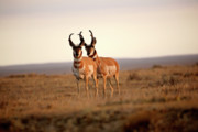 Rural Digital Art - Two male Pronghorn Antelopes in Alberta by Mark Duffy