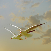 Square Tapestries Textiles - Two Mediterranean Gulls In Flight by Christiana Stawski