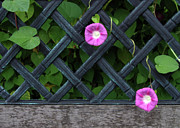 Grillwork Prints - Two Morning Glories And Bench Print by Don White