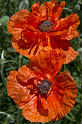 Daphne Sampson - Two Orange Poppies
