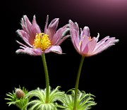 Pasqueflower Posters - Two Pasque Flowers Poster by Gitpix