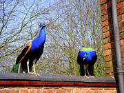 2 - Two Peacocks on the Wall by Roberto Alamino