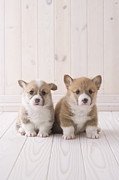 Flooring Framed Prints - Two Pembroke Welsh Corgi Sitting Framed Print by Mixa