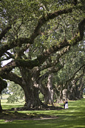 Oak Alley Plantation Photo Prints - Two People Stand Under A Row Of Live Print by Hannele Lahti