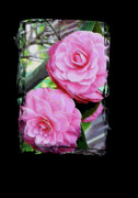 Unique Art Posters - Two Pink Camellias Dream Poster by Carol Groenen
