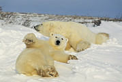Roosting And Resting Prints - Two polar bears lounging Print by Norbert Rosing